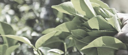 Thès verts